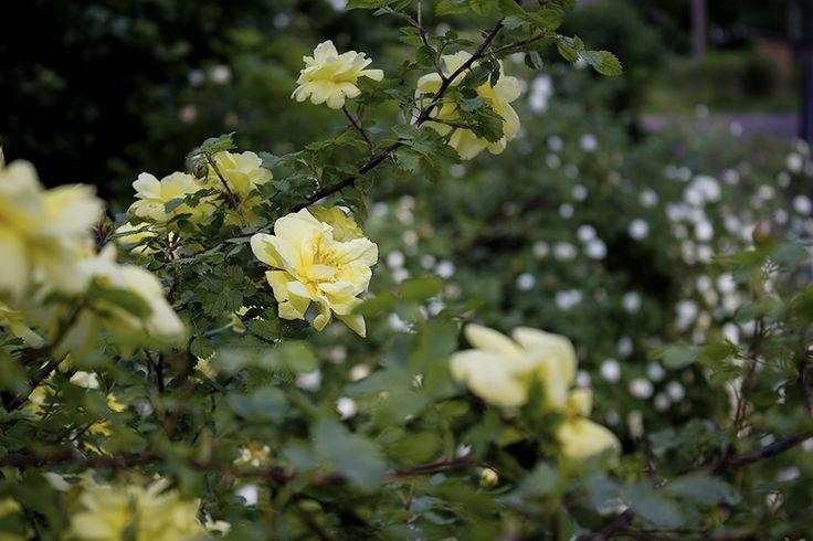 Suuri Pienoispuutarhan valokuvakilpailu - Kesän ruusut