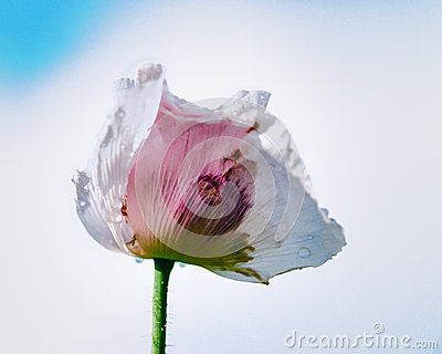 Garden poppy flower isolated on blue sky background, fresh, cultivated in Europa, water drops