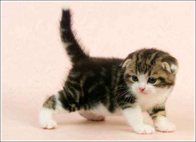 Découvrez les photos des Munchkins, une race de chat qui reste bébé toute sa vie...