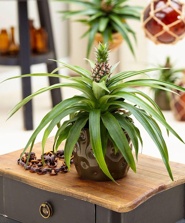 1000 id es sur le th me ananas plante sur pinterest for Accessoire plante interieur