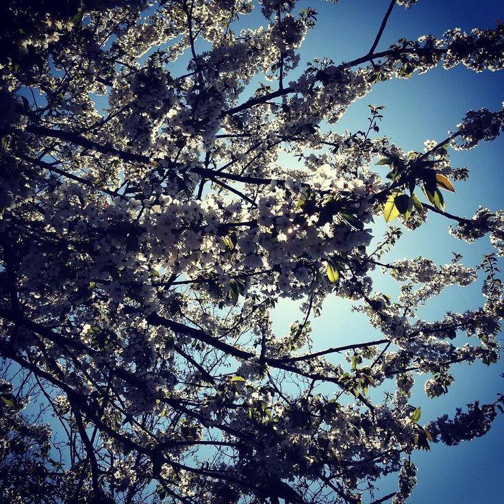 Buongiorno Igers! Oggi passeggiata tra le colline attorno a Marostica tra i ciliegi in fiore.