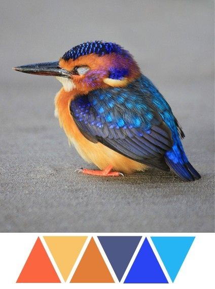 baby kingfisher, bird, feathers, blue, orange, grey by neva: Adult Coloring Feather, Blue Color, Pygmy Kingfisher, Beauty, Beautiful Birds, Animals 3, Awesome Animals, Baby Kingfisher