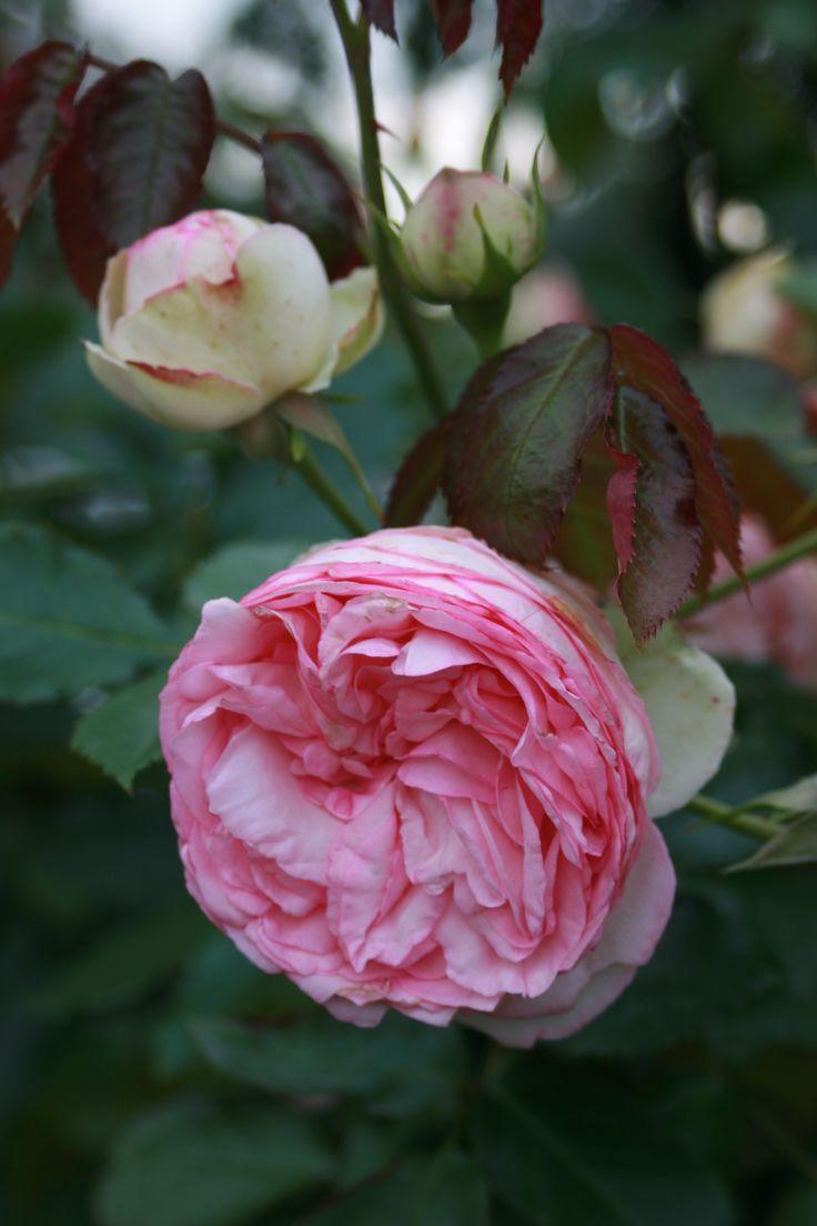 rose/ roses / Сatherine park