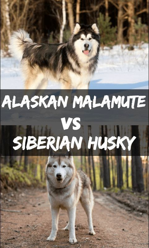 Pin By Dog Is Life On Alaskan Malamute Alaskan Malamute