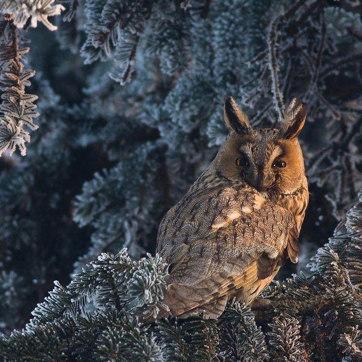 Eine Waldohreule im letzten Sonnenlicht. Der nachtaktive Jäger ortet bei seinem Tiefflug über den Waldboden seine Beute, meist Mäuse, mit dem Gehör, das durch den kranzförmigen Gesichtsschleier verstärkt wird. Die Waldohreule ist auf der ganzen Nordhalbkugel verbreitet – Diese Karte hier online kaufen: http://bkurl.de/pkshop-212096 Art.-Nr.: 212096 Horchflieger | Foto: © Mateusz Piesiak | Text: Rolf Bökemeier