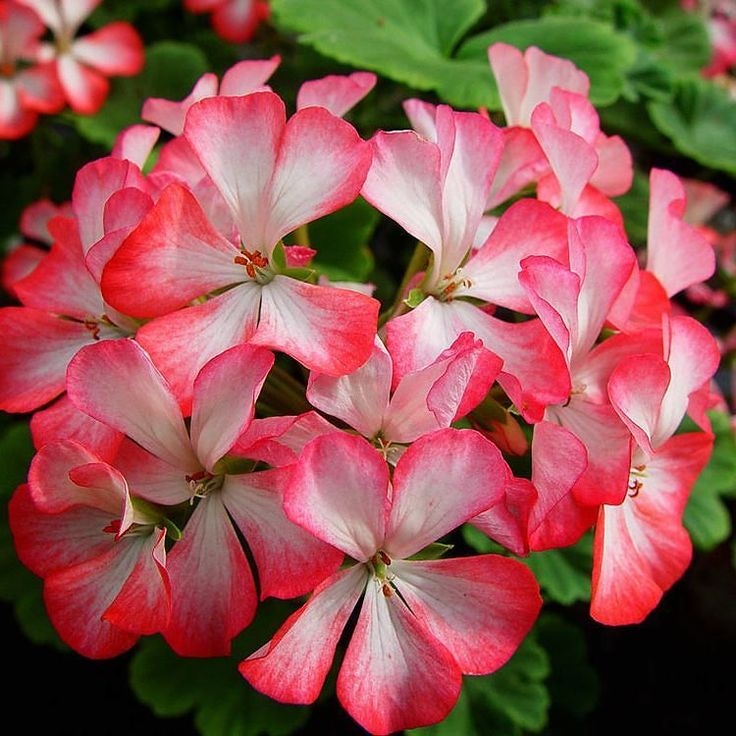 Alberta. En enkel Zonalpelargon med blomma av 'Smultron och Mjölk-typ.  Den här bilden är även med på etiketten till vår pelargonnäring 'Pelargonium Focus' som är kanon för alla dina pelargoner! #wexthuset #pelargon #pelargonium #geranium #krukväxt #minträdgård #blomnäring #blommor #flowers #växter