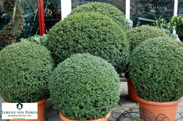 20 best images about ilex crenata on pinterest gardens hedges and shrubs. Black Bedroom Furniture Sets. Home Design Ideas