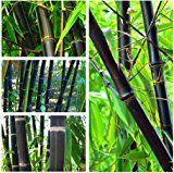 100PCS bambou noir Graines Phyllostachys Nigra Bonsai Graines Accueil planteur de pot de fleur de jardin