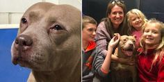 Sad Dog Filmed 'Crying' At Shelter Can't Believe How Great New Life Is || After being dumped at a city shelter, a 7-year-old pit bull finds the perfect new family. https://www.thedodo.com/close-to-home/sad-dog-crying-in-shelter-adopted-north-carolina?utm_campaign=crowdfire&utm_content=crowdfire&utm_medium=social&utm_source=pinterest