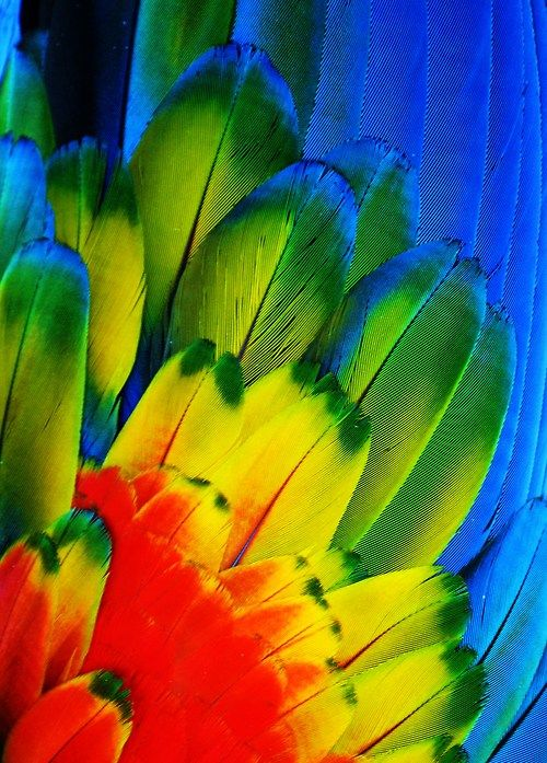 "michaelfitzsimmons:    ""Macaw Feathers VI"". Photo by Michael Fitzsimmons. Full portfolio at www.500px.com/MFitz"