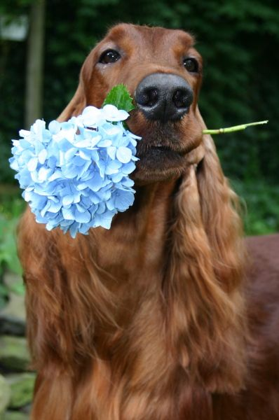 mom ! look at this beautiful Irish Setter, maybe a better choice this time and they are gorgeous less health issues