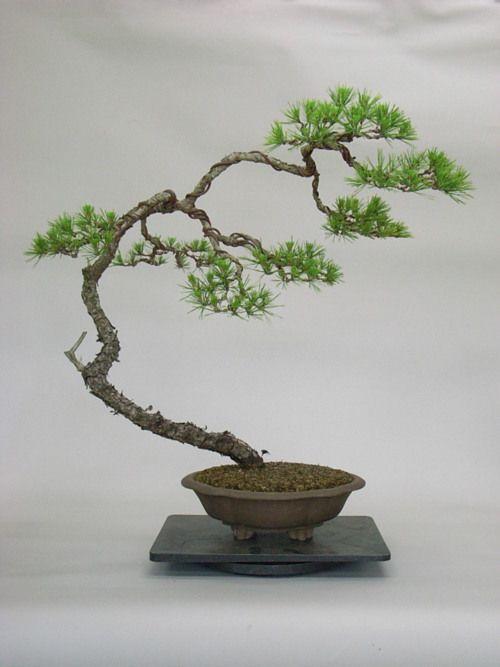 Bonsai bark pinterest bonsa bonza et cactus jardin - Jardin de bonsais ...