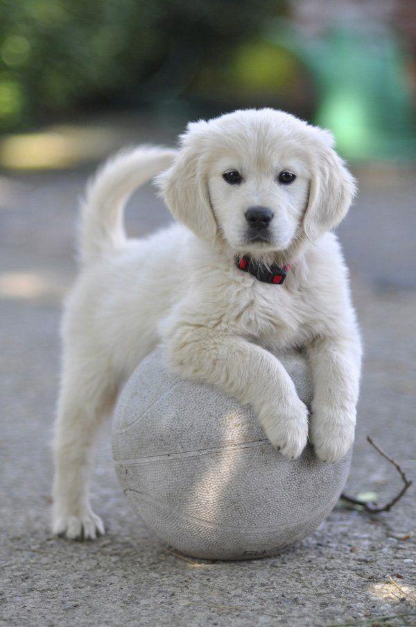 Bianca los golden retriever - 50 Cachorro precioso Fotos | Arte y Diseño