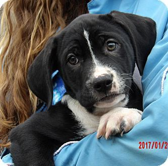West Sand Lake, NY - Great Dane/Border Collie Mix. Meet Tacoma (11 lb) Video!, a puppy for adoption. http://www.adoptapet.com/pet/17447105-west-sand-lake-new-york-great-dane-mix