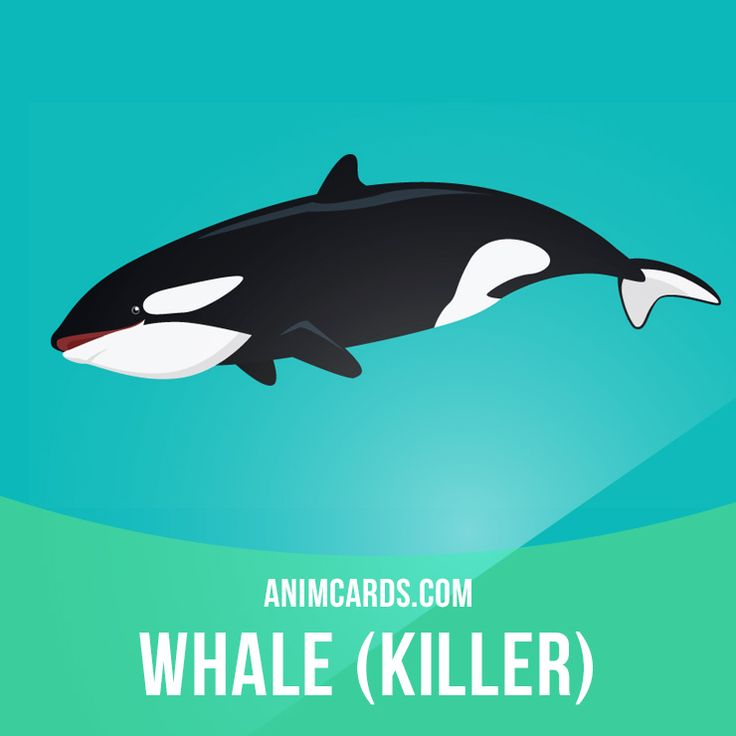 No other animals (except for humans) hunt orcas. Killer whales feed on sea birds, squid, octopuses, sea turtles, sharks, rays and fish. They also eat most marine mammals, such as seals and dugongs. Want to learn English? Choose your topic here: learzing.com #english #englishlanguage #learnenglish #studyenglish #language #vocabulary #dictionary #englishlearning #vocab #animals #whales #whale #killerwhale #killerwhales