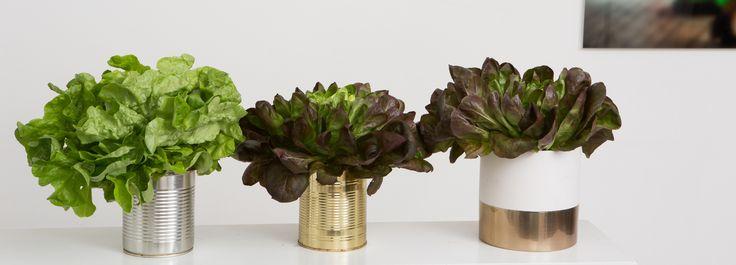 L'entreprise maraîchère vaudoise se lance dans la production et la commercialisation de salades en pot qui continuent à grandir une fois achetées
