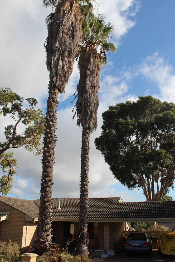 Start of Hammersley job Cotton palms and gum tree behind the house. 149