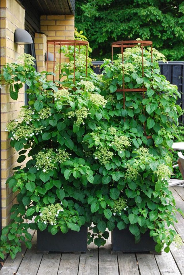 Climbing Hydrangea - Climbing hydrangea is a great option, if you live under the USDA Zones 5-8 and have a lot of room as this vine can grow up to 70 feet long. It is shade tolerant and thrives best in semi-shaded positions. This plant needs a large pot of about of the size of the half of a whiskey barrel.