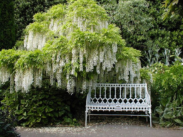 White Wisteria and iron park bench at Hidcote Manor Garden near Hidcote Bartrim, Gloustershire in the U.K.