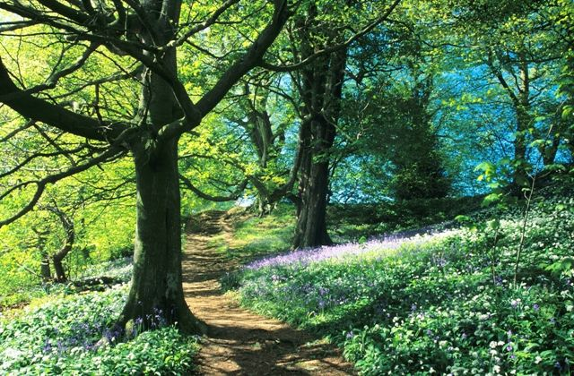 Bluebells and Wild Garlic in Northumberland Woodland, England