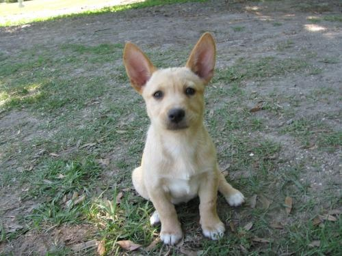 Corgi-Lab Mix, I want her!