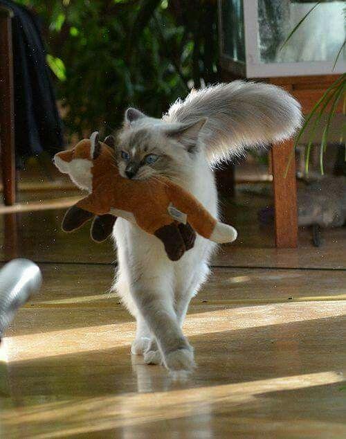 best images ideas of ragdoll kitten / kitty - most affectionate cat breeds