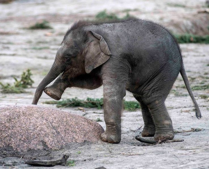 """""""Edgar"""" the Asian elephant baby at Tierpark Berlin in Germany - photo by Tierpark Berlin, via zooborns;  """"The gestation period [of an elephant] is 18–22 months, and the female gives birth to one calf, occasionally twins. The calf is fully developed by the 19th month, but stays in the womb to grow so that it can reach its mother to feed. At birth, the calf weighs about 220 pounds, and is suckled for up to three years.""""   ...Interesting!..."""