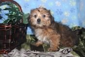 Puppies for Sale in PA - Pennsylvania Puppy Classifieds Website that has Lots of Cute Puppies for Sale in PA - Many PA Puppies to choose from with Pictures,fore more call us me