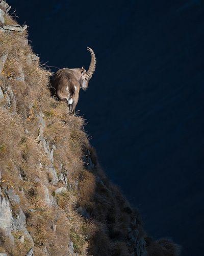 Alpensteinbock (Capra ibex) 16025   Der Alpensteinbock hat e…   Flickr
