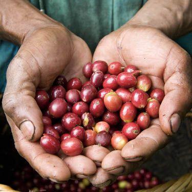 Почему зеленый кофе помогает похудеть?