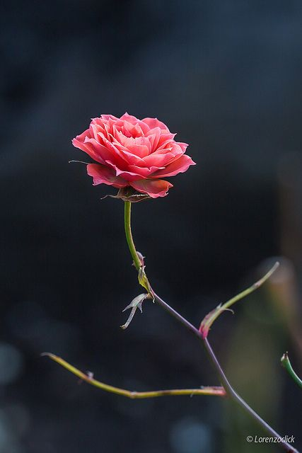 Last little rose by Lorenzoclick, via Flickr