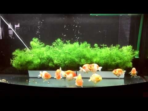 Plant for Ranchu Goldfish tank - Perfect plant for Goldfish breeding
