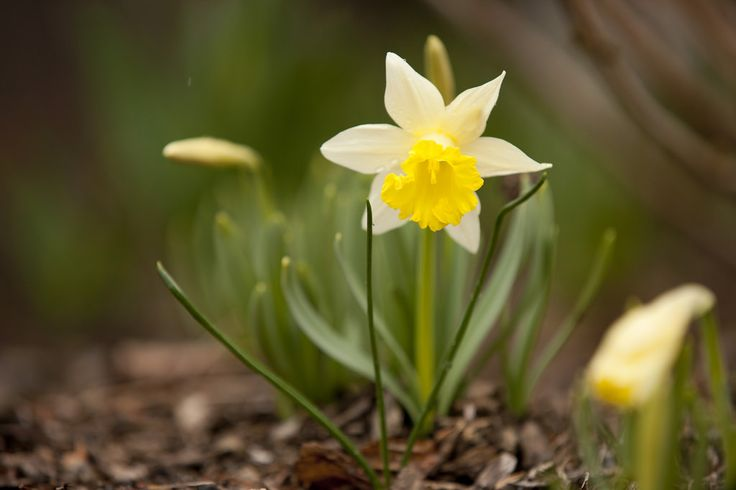 Les 130 meilleures images propos de la jonquille for Jardin de fleurs blanches