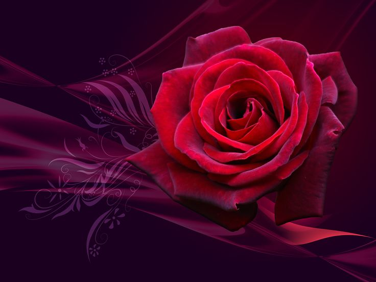 Red Rose Hd Wallpapers In Range Of High Resolutions For Your PC Desktop Laptop And Other Smart Phone Device