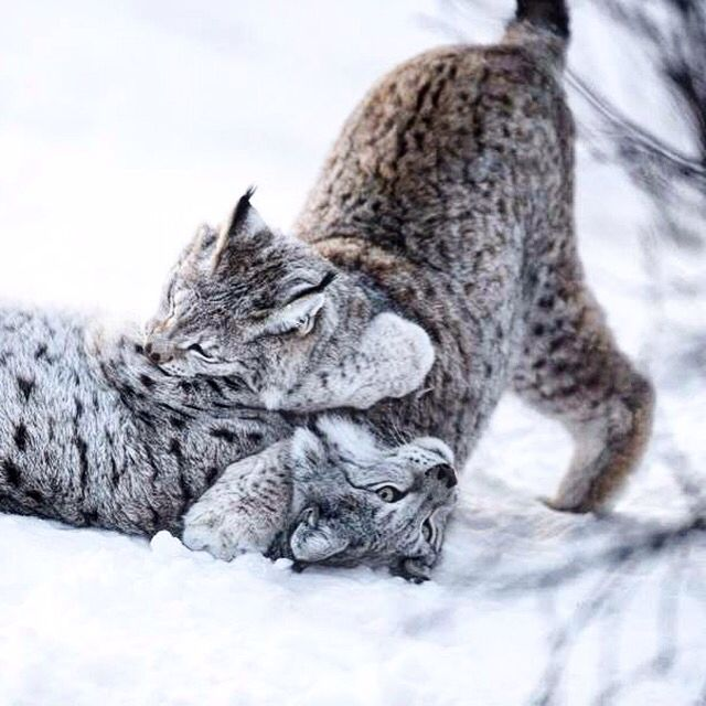 How are you spending your winter break? These cats are playing in the snow. Check out the Wild Wire Blog and see the Top 10 Animals Enjoying Winter Break! #winterfun #cuteness #cats #lynx