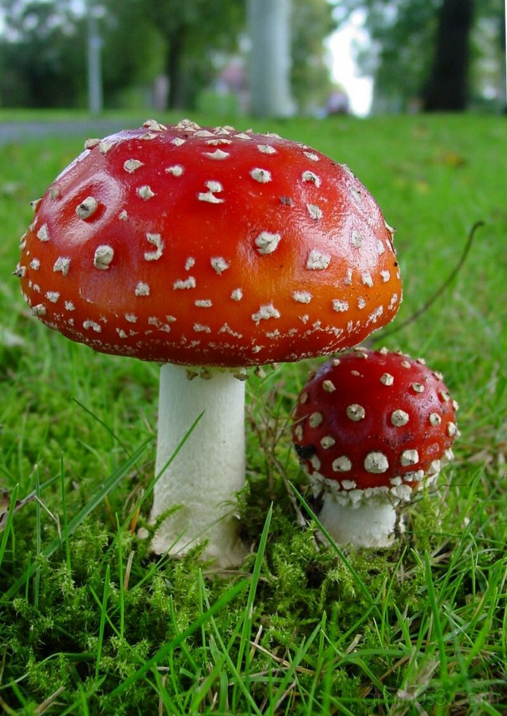 how to use amanita muscaria