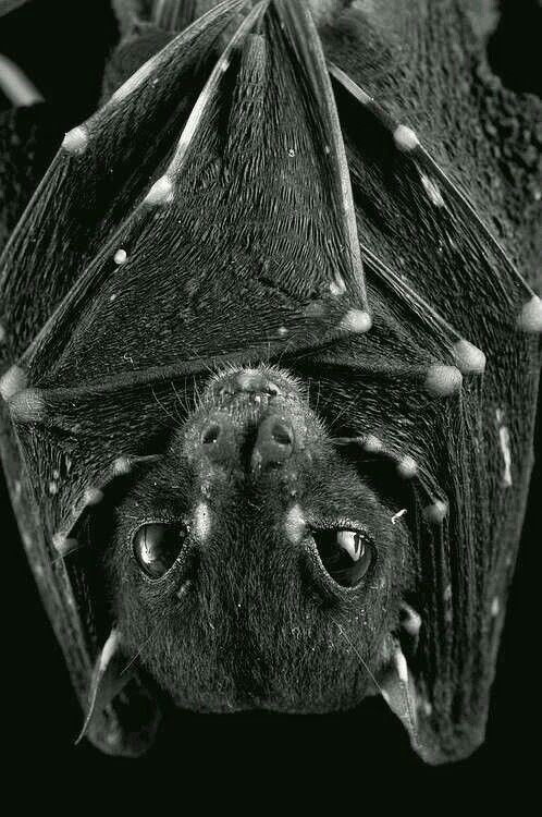 Although many cultures have stories about them, vampire bats have only recently become an integral part of the traditional vampire lore. Indeed, vampire bats were only integrated into vampire folklore when they were discovered on the South American mainland in the 16th century. Although there are no vampire bats in Europe, bats and owls have long been associated with the supernatural and omens, although mainly because of their nocturnal habits, and in modern English heraldic tradition, a bat…