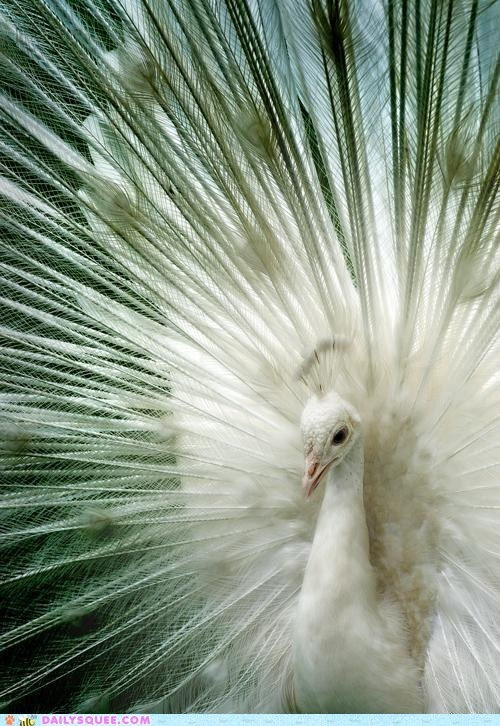 The White Queen - gorgeousAnna Karina, White Queens, Pets, Albino Peacocks, Beautiful Birds, White Peacocks, Peacocks Feathers, Nature Beautiful, Animal