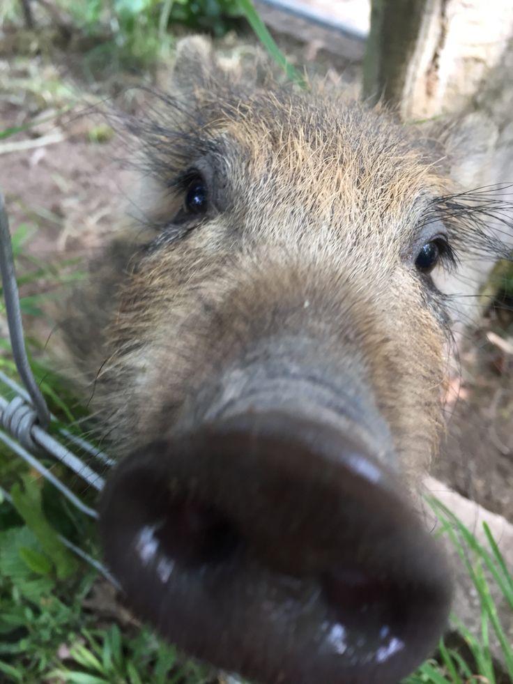 Good Wildschwein Ferkel Frischling Leipziger Wildpark cutie u u u cicoberlin