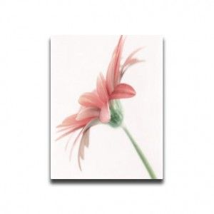 High Key Gerbera by davidhughes  This image shows a beautiful high key Gerbera finished in soft pastel colours.