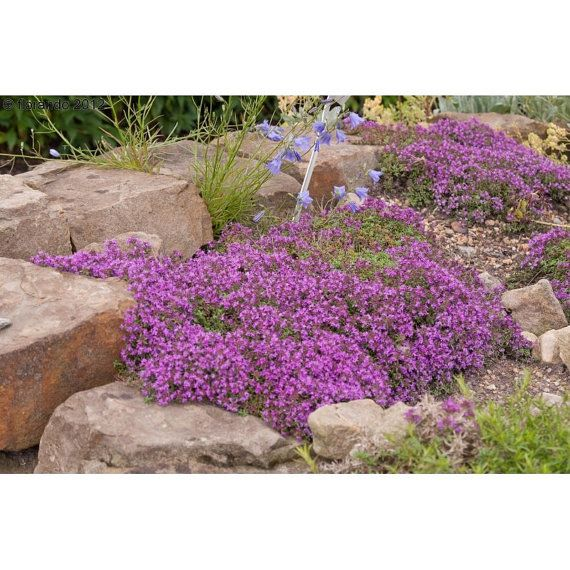0.1g (approx. 700) creeping thyme seeds THYMUS SERPYLLUM  One of the best low growing ground covers <Fresh seeds - Best before 12.2018!>