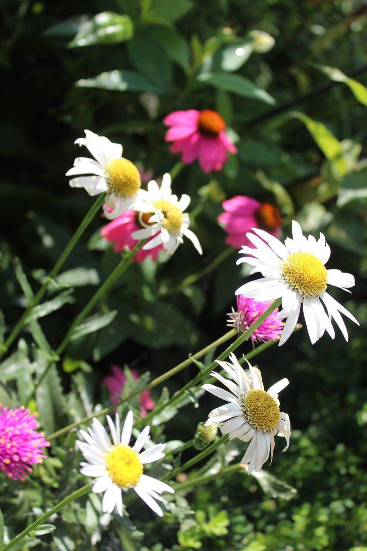 Garden Walk Chattanooga: Daisies...cottage Garden Sjacha, The Barn Nursery Stylist