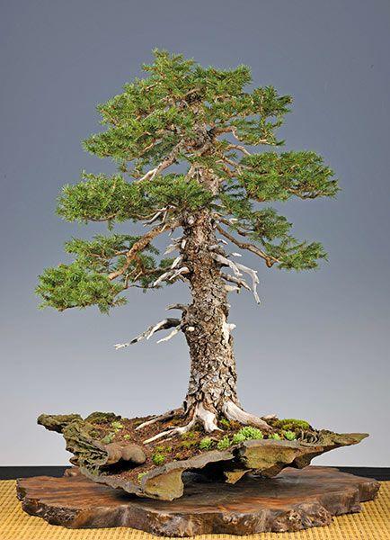 #Bonsai… Gallery of Walter Pall #European #spruce http://www.roanokemyhomesweethome.com