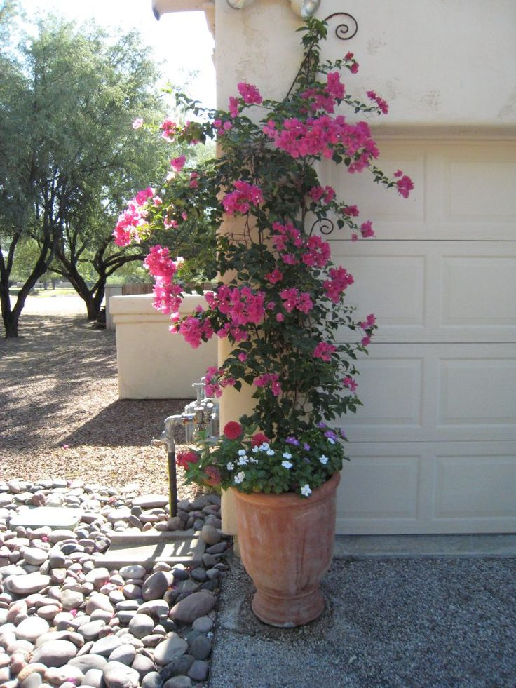 how to take care of bougainvillea plant