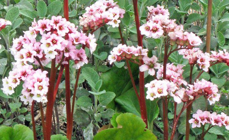 Die Bergenien-Sorte 'Schneekönigin' ist eine reich blühende Züchtung von Karl Foerster. Ihre Blüten sind zunächst weiß und verfärben sich später hellrosa. Die Blätter bleiben auch im Winter schön grün