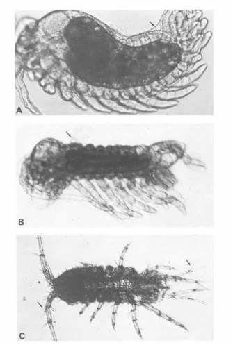 CRUSTACEA (Crustáceo) - Peracarida, Ordem Isopoda. / CRUSTACEA (Crustacean) - Peracarida, Order Isopoda. Desenvolvimiento embrionário de Isopoda.