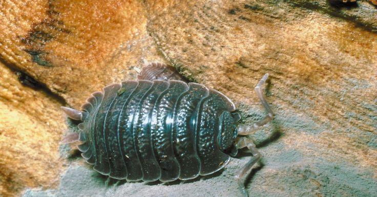 Tipos de cochinillas . Las cochinillas son crustáceos pequeños que forman parte del suborden Oniscidea. Estos animales viven en la tierra y se alimentan de las hojas, las raíces y los materiales orgánicos en descomposición. Poseen un exoesqueleto rígido y segmentado y catorce piernas. Se conocen más de 3000 especies de cochinillas; entre los tipos comunes se incluyen ...