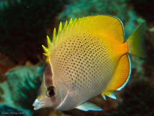 Guenther's Butterflyfish (Chaetodon guentheri), western Pacific