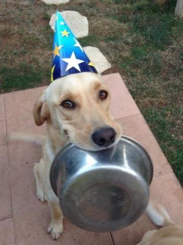 Adoptez ce magnifique Donne jeune Labrador de 2 ans et demi. ►http://www.topannonces.fr/annonce-chien-v43657147.html