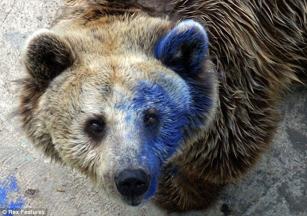 Bear could be left blind in one eye after thugs hurl blue paint in its face at Bulgarian zoo -Svoboda was doused in paint by cruel unknown visitor at Varna Zoo -Group of children first noticed him covered in blue paint and promptly alerted staff. What kind of motherfucker does this? Who the hell would get kicks out of shear meanness to an innocent animal, who can't even get away or defend itself because it's in a frickin zoo!? ...Karma motherfuckers, it's a bitch...just wait